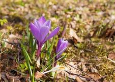 As flores do açafrão floresceram na grama e nas folhas do ` s do ano passado Fotos de Stock