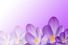 As flores do açafrão no inclinação roxo-branco Fotografia de Stock