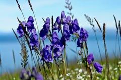 As flores do acônito cobriram a tundra. Imagens de Stock