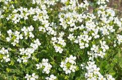 As flores do Arabis Fotos de Stock