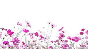 As flores do cosmos são florescer isoladas no fundo branco foto de stock royalty free