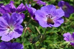 As flores do gerânio Himalayense atraem muitos insetos Fotos de Stock