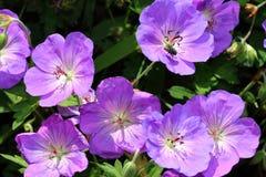 As flores do himalayense do gerânio são azul violeta na cor Fotografia de Stock Royalty Free