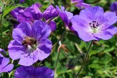 As flores do himalayense do gerânio são uma boa tampa do solo Fotografia de Stock Royalty Free
