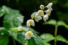 As flores do jasmim Foto de Stock Royalty Free