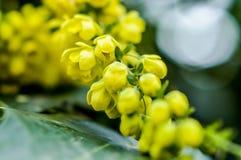 As flores do Mahonia fecham-se acima Foto de Stock