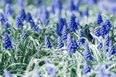 As flores do Muscari, armeniacum do Muscari, jacintos de uva saltam as flores que florescem em abril e podem Planta do armeniacum imagens de stock