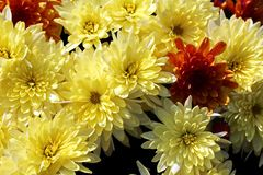 As flores do outono fecham-se acima das vistas foto de stock