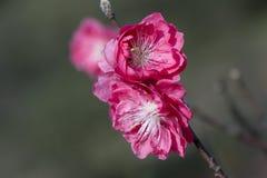 As flores do pêssego Imagens de Stock