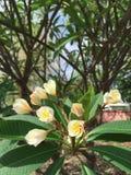 As flores do Plumeria no jardim começam florescer vertical Imagens de Stock