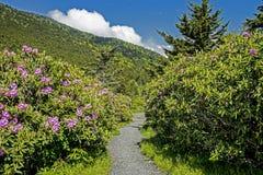 As flores do rododendro cercam uma fuga em Grayson Highlands State Park imagem de stock