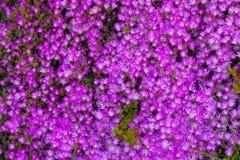 As flores do rosa Imagens de Stock Royalty Free