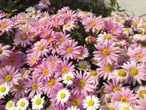 As flores do rosa e a branca da margarida florescem imagem de stock royalty free