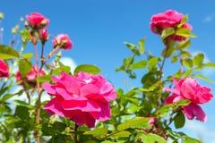 As flores do rosas cor-de-rosa têm a florescência em um jardim Imagens de Stock