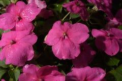 As flores do roxo fotos de stock royalty free