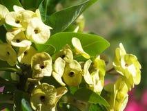 As flores do verde do fundo coroam de flores dos espinhos foto de stock