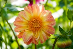 As flores do zinnia Foto de Stock Royalty Free