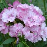 As flores doces salpicadas cor-de-rosa de William fecham-se acima imagens de stock royalty free