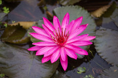 As flores dos lótus ou o lírio de água cor-de-rosa florescem a florescência imagens de stock royalty free