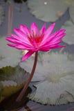 As flores dos lótus ou o lírio de água cor-de-rosa florescem a florescência Foto de Stock Royalty Free