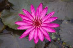 As flores dos lótus ou o lírio de água cor-de-rosa florescem a florescência Fotos de Stock