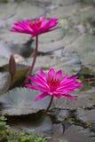 As flores dos lótus ou o lírio de água cor-de-rosa florescem a florescência Fotografia de Stock Royalty Free