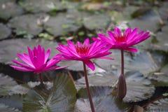 As flores dos lótus ou o lírio de água cor-de-rosa florescem a florescência Imagem de Stock Royalty Free