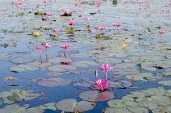 As flores dos lótus ou o lírio de água cor-de-rosa ou vermelho florescem a florescência no pon Imagem de Stock