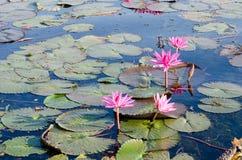 As flores dos lótus ou o lírio de água cor-de-rosa ou vermelho florescem a florescência no pon Imagens de Stock