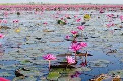 As flores dos lótus ou o lírio de água cor-de-rosa ou vermelho florescem a florescência no pon Foto de Stock