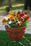 As flores dos Pansies da variedade no jardim da mola dos potenciômetros florescem o fundo da natureza imagem de stock royalty free