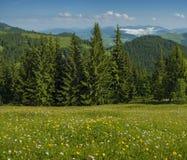 As flores e as ervas do prado florescem nos Carpathians contra o contexto das florestas e das montanhas no verão foto de stock