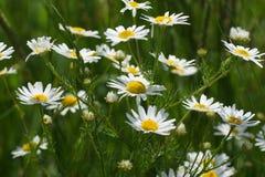 As flores e a grama iluminaram-se por ensolarado morno em um prado do verão Camomila do prado, chamomilla do Matricaria Fotografia de Stock