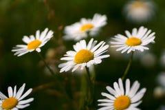 As flores e a grama iluminaram-se por ensolarado morno em um prado do verão Chamomilla do Matricaria da camomila do prado Imagens de Stock