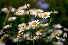 As flores e a grama iluminaram-se por ensolarado morno em um prado do verão Chamomilla do Matricaria da camomila do prado Fotografia de Stock