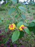 As flores e Gul sejam 1 Imagem de Stock