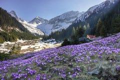 As flores e a mola coloridas do açafrão ajardinam nas montanhas Carpathian, a Transilvânia, Romênia Fotografia de Stock