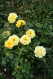 As flores e os botões amarelos do jardim aumentaram na mola imagens de stock