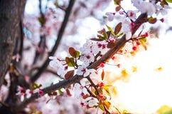 As flores e os ramos de florescência da ameixa fecham-se acima no por do sol fotografia de stock royalty free