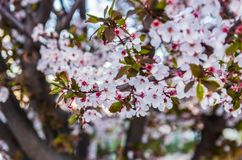 As flores e os ramos de florescência da ameixa fecham-se acima no por do sol imagens de stock