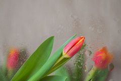 As flores elegantes das tulipas atrás do vidro com chuva deixam cair Fundo abstrato em reticulações modernas Matizes delicados pa Imagens de Stock