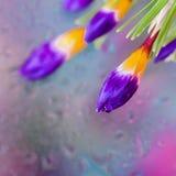 As flores elegantes do açafrão atrás da janela molhada com chuva realística deixam cair Fundo abstrato, reticulações modernas Imagem de Stock Royalty Free