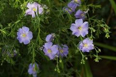 as flores em botão ordinárias do linho da planta saem claro - close-up azul foto de stock