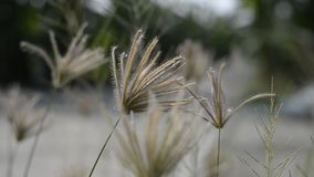 As flores gramam mover-se pelo vento filme