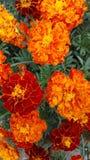 As flores, laranja, jardim florescem, florescem, jardinam, flores alaranjadas Fotos de Stock Royalty Free