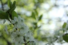 As flores na árvore de ameixa fotografia de stock