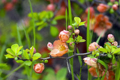As flores na árvore de marmelo Fotos de Stock