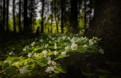 As flores na floresta Fotografia de Stock