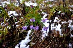 As flores na neve na neve da floresta florescem, Imagens de Stock