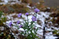 As flores na neve na neve da floresta florescem, Fotografia de Stock